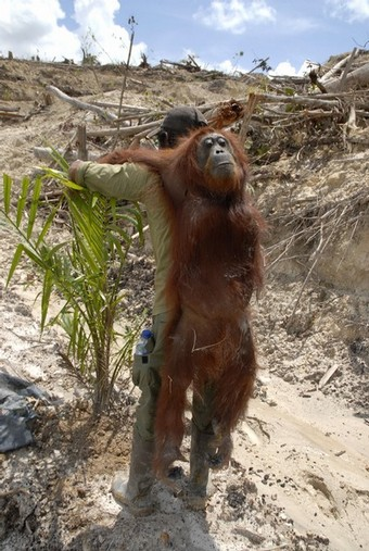 One of the biggest populations of wild orangutans on Borneo will be extinct in three years without drastic measures to stop the expansion of palm oil plantations, conservationists say. AFP/AFP/Getty Images